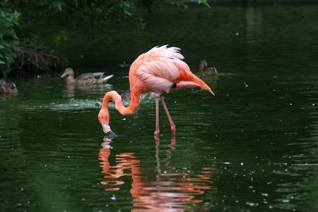 Large pink American Flamingo - Phoenicopterus ruber photo