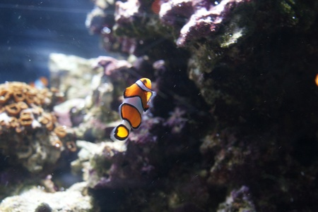 False Clownfish amongst the reef underwater photo
