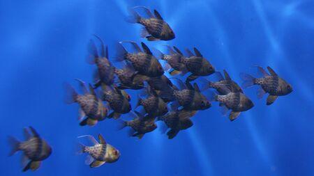 Sphaeramia nemanoptera - Pyjama Cardinalfish Stock Photo - 12123157