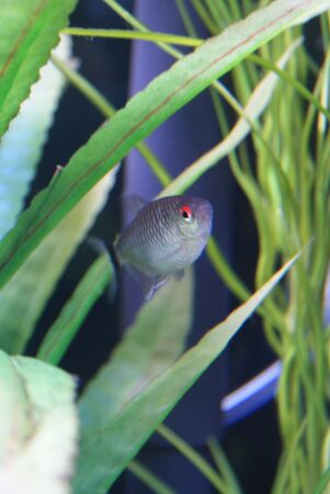 tetra fish: Moenkhausia sanctaefilomenae - Red Eye Tetra