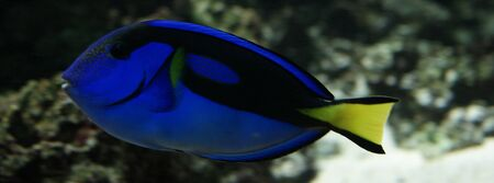 Close-up side-on image of Regal Tang