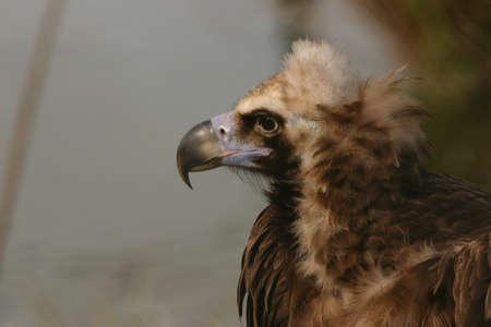 Close-up image of a European Black Vulture photo
