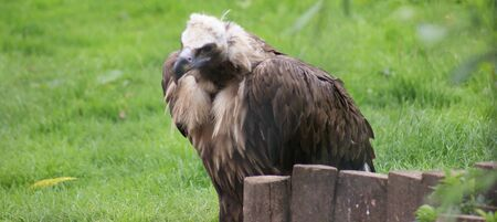 European Black Vulture - Aegypius monachus - wild bird photo