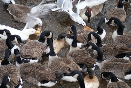 Large number of Canada Geese and Common Gull photo