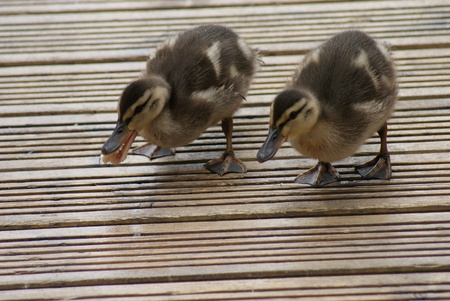 platyrhynchos: Close-up image of Mallard  Duck - Anas Platrhynchos - Duckling(s)