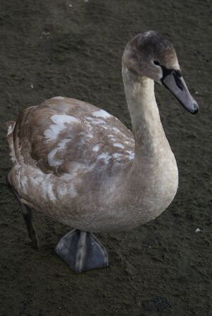 Cygnus olor - Mute Swan photo
