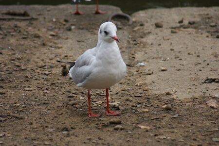 Common Gull photo