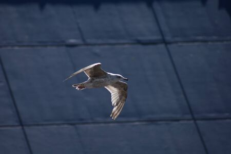 Portrait image of a wild Common Gull Seagull photo