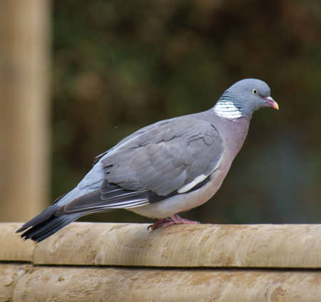 Common Wood Pigeon - Columba palumbus perched
