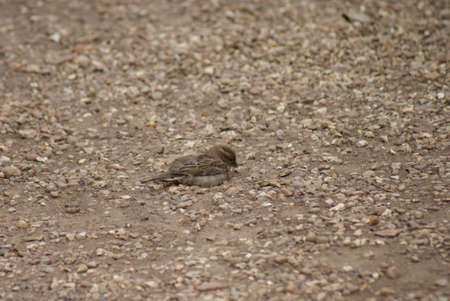 passer by: Passer domesticus - House Sparrow