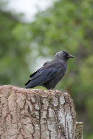 Portait image of a wild Jackdaw - Corvus monedula Stock Photo - 12422218