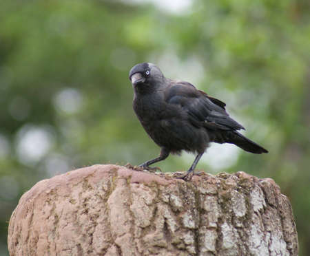Portait image of a wild Jackdaw - Corvus monedula Stock Photo - 12719490
