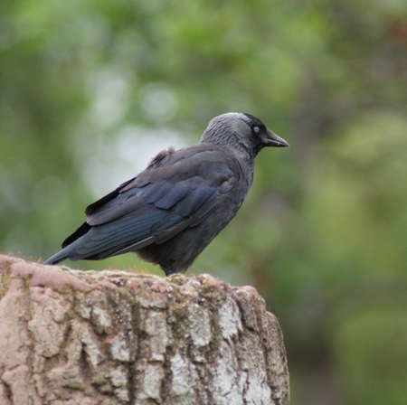 Portait image of a wild Jackdaw - Corvus monedula Stock Photo - 12724280