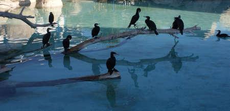 carbo: Phalacrocorax carbo - Great Cormorant Stock Photo