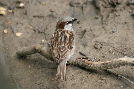 phylum chordata: House Sparrow - Passer domesticus