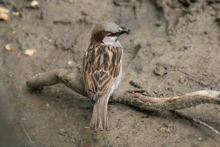 chordata phylum: House Sparrow - Passer domesticus