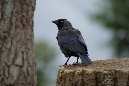 Portait image of a wild Jackdaw - Corvus monedula photo