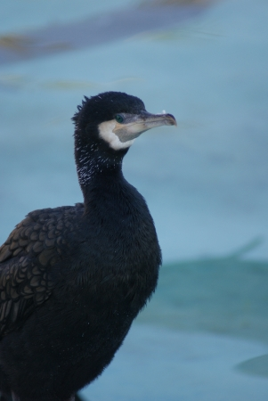 carbo: Great Cormorant - Phalacrocorax carbo