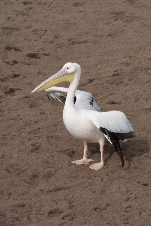 Great White Pelican - Pelecanus onocrotalus Stock Photo - 14642135