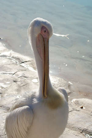 Great White Pelican - Pelecanus onocrotalus photo