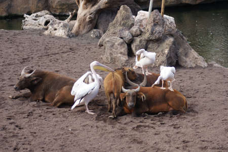 Great White Pelican - Pelecanus onocrotalus and African Forest Buffalo - Syncerus caffer nanus photo