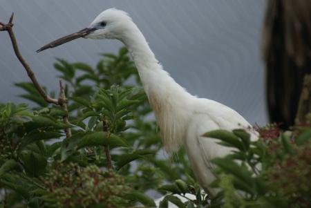 phylum chordata: Poco Egret - Egretta garzetta