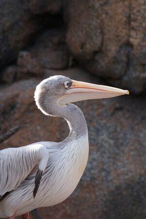 phylum chordata: Pink-backed Pelican - Pelecanus rufescens