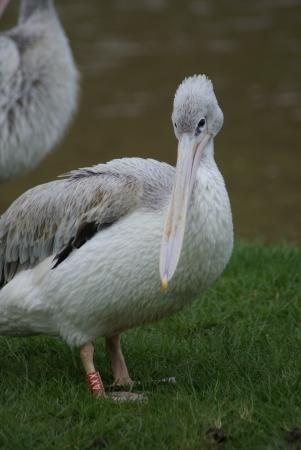 phylum chordata: Rosa respaldados por Pelican - Pelecanus rufescens Foto de archivo