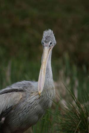 chordata phylum: Pink-backed Pelican - Pelecanus rufescens