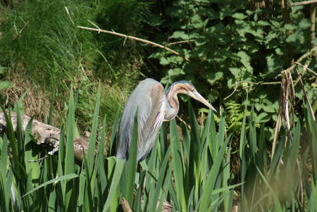 Wildlife image of a Purple Heron - Ardea purpurea photo