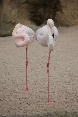 phoenicopterus: Greater Flamingo - Phoenicopterus Antiquorum