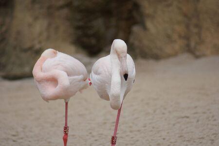chordata phylum: Greater Flamingo - Phoenicopterus antiquorum Foto de archivo