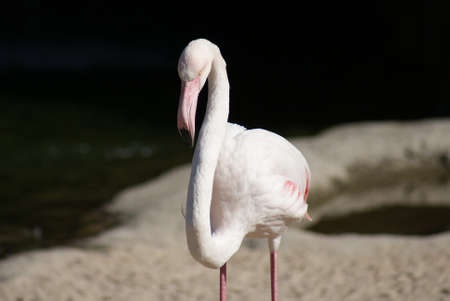 phylum chordata: Greater Flamingo - Phoenicopterus antiquorum Foto de archivo
