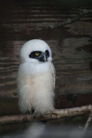 spectacled: Spectacled Owl - Pulsatrix perspicillata