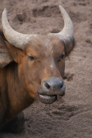 phylum chordata: Bosques de África Buffalo - Syncerus caffer nanus Foto de archivo