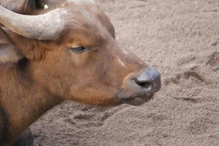 phylum chordata: Bosques de �frica Buffalo - Syncerus caffer nanus Foto de archivo