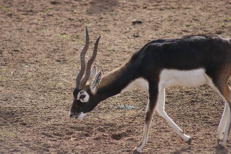 phylum chordata: Antilope cervicapra - Blackbuck