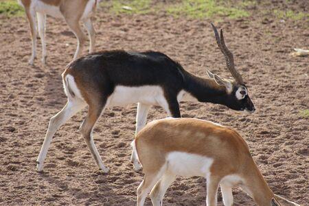 chordata phylum: Antilope cervicapra - Blackbuck