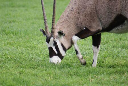 oryx: Oryx gazella - Gemsbok