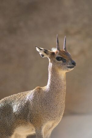 Oreotragus oreotragus - Klipspringer photo