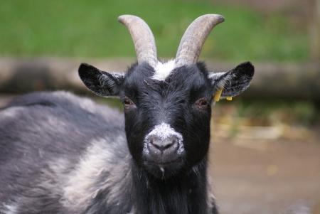 pygmy goat: Capra aegagrus - Pygmy Goat