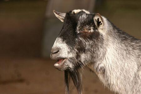 twee: Capra aegagrus - Pygmy Goat