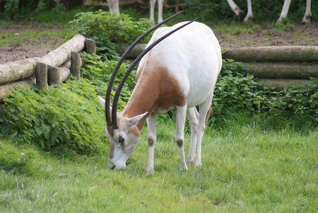 scimitar: Oryx dammah - Scimitar Oryx Stock Photo