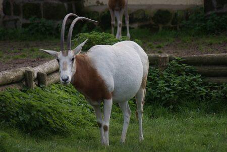 phylum chordata: Oryx dammah - Oryx Scimitar
