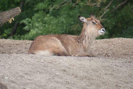 phylum chordata: Defassa Waterbuck - Kobus ellipsiprymnus Defassa