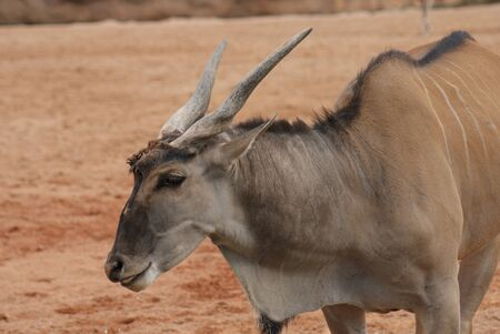 Waterbuck - Kobus ellipsiprymnus photo