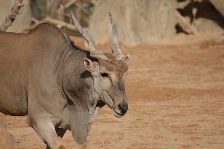 duelling: Waterbuck - Kobus ellipsiprymnus Stock Photo