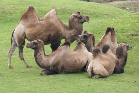 A herd of Bactrian Camel (Camelus bactrianus) Stock Photo