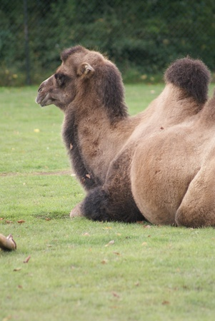 phylum chordata: Bactrian Camel - Camelus bactrianus Foto de archivo
