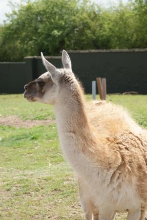 phylum chordata: Lama guanicoe - Guanaco